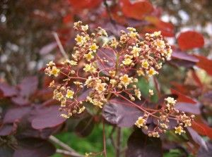 Cotinus_coggygria_Royal_Purple3 (1)