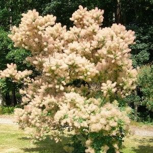 cotinus-coggygria-smoke-tree-seeds (1)
