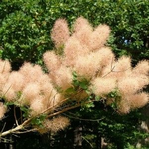 cotinus-coggygria-smoke-tree-seeds